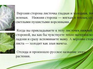 Верхняя сторона листочка гладкая и холодная, темно-зеленая. Нижняя сторона —