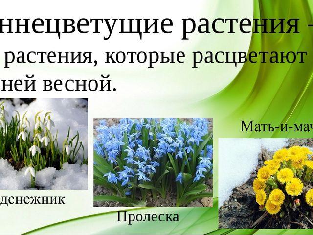Раннецветущие растения – это растения, которые расцветают ранней весной. Прол...