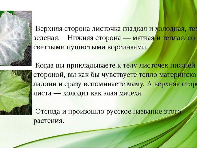 Верхняя сторона листочка гладкая и холодная, темно-зеленая. Нижняя сторона —...