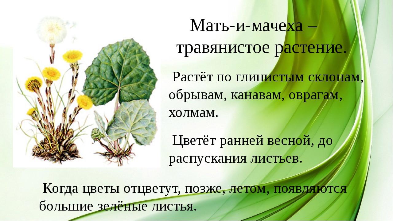 Мать-и-мачеха – травянистое растение. Растёт по глинистым склонам, обрывам,...
