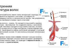 Внутренняя структура волос Человеческий волос имеет очень интересную структур
