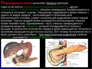 Поджелудочная железа выполняет двойную функцию. Одни из ее клеток вырабатываю