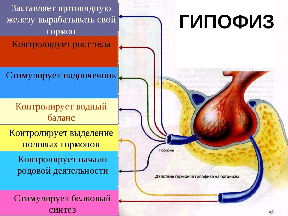 Заставляет щитовидную железу вырабатывать свой гормон Контролирует рост тела...