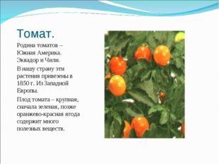 Томат. Родина томатов – Южная Америка. Эквадор и Чили. В нашу страну эти раст