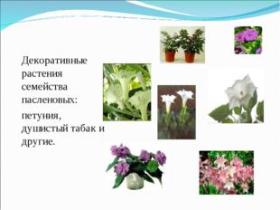 Декоративные растения семейства пасленовых: петуния, душистый табак и другие.