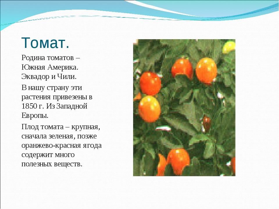 Томат. Родина томатов – Южная Америка. Эквадор и Чили. В нашу страну эти раст...