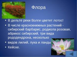 Флора В дельте реки Волги цветет лотос! В числе краснокнижных растений - сиби
