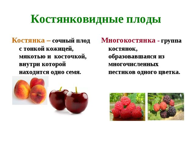 Костянковидные плоды Костянка – сочный плод с тонкой кожицей, мякотью и косто...