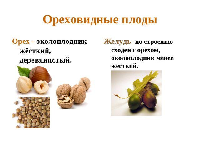 Ореховидные плоды Орех - околоплодник жёсткий, деревянистый. Желудь -по строе...