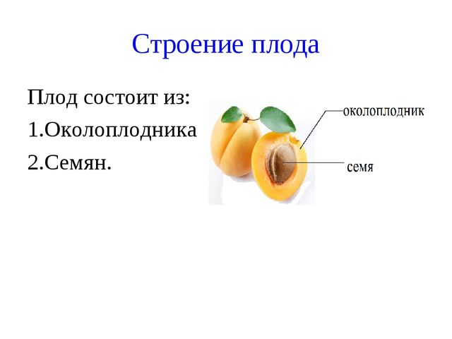 Строение плода Плод состоит из: 1.Околоплодника 2.Семян.