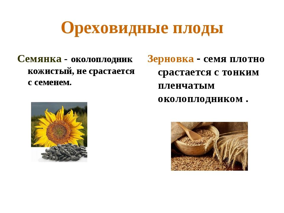 Ореховидные плоды Семянка - околоплодник кожистый, не срастается с семенем. З...