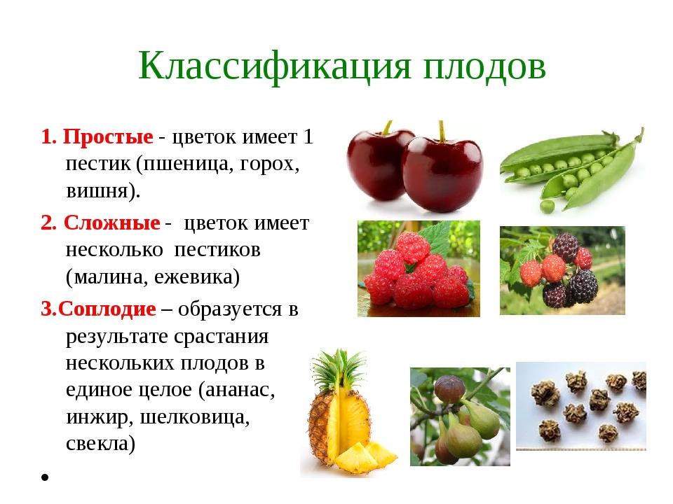 Классификация плодов 1. Простые - цветок имеет 1 пестик (пшеница, горох, виш...