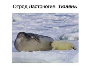 Отряд Ластоногие. Тюлень