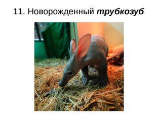 11. Новорожденный трубкозуб