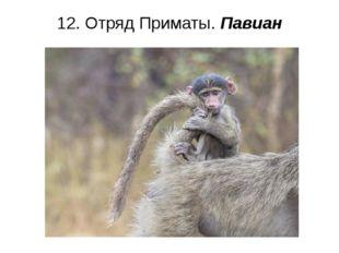 12. Отряд Приматы. Павиан