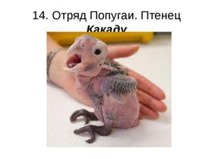 14. Отряд Попугаи. Птенец Какаду