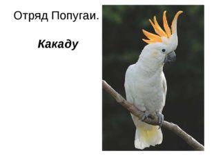 Отряд Попугаи. Какаду