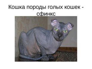 Кошка породы голых кошек - сфинкс