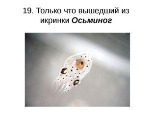 19. Только что вышедший из икринки Осьминог