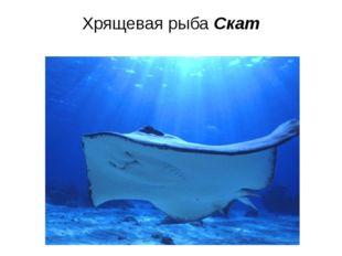 Хрящевая рыба Скат