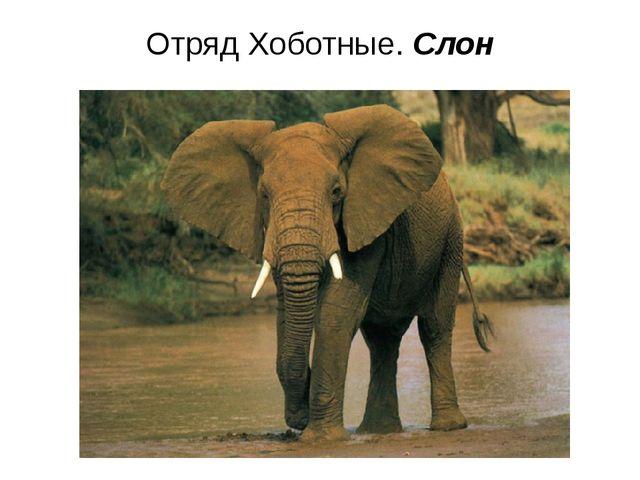 Отряд Хоботные. Слон