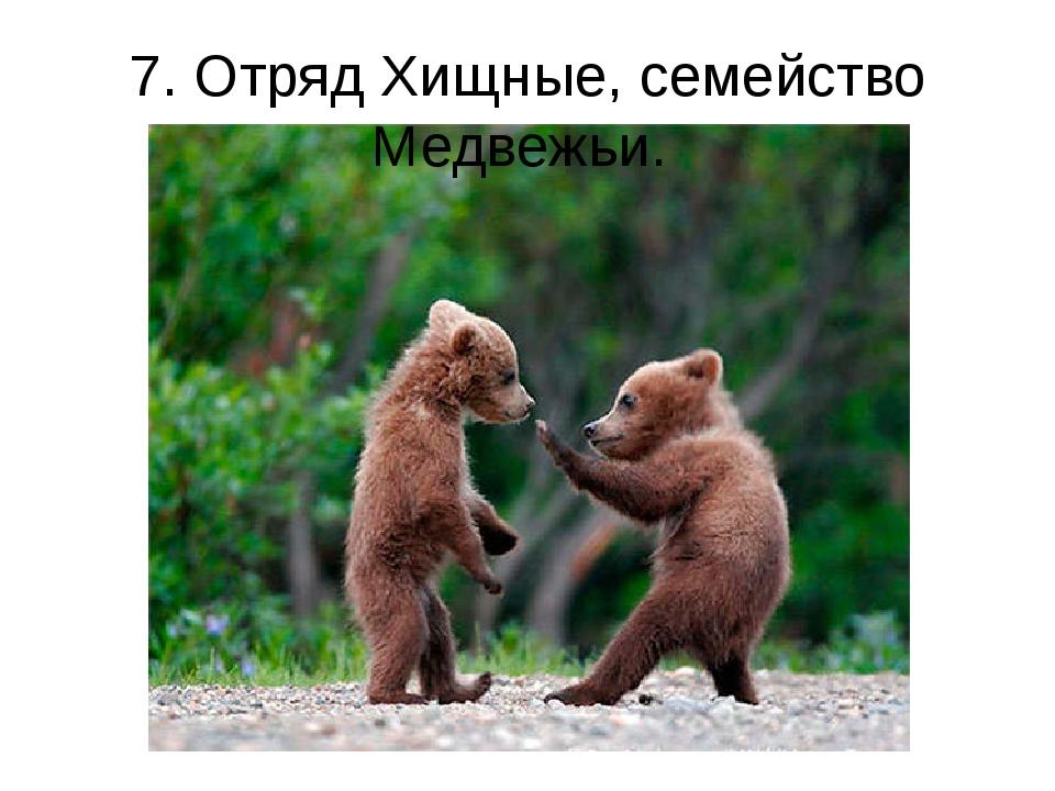 7. Отряд Хищные, семейство Медвежьи.