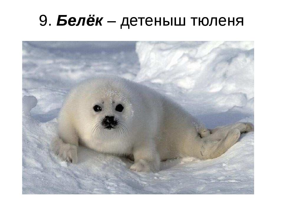 9. Белёк – детеныш тюленя