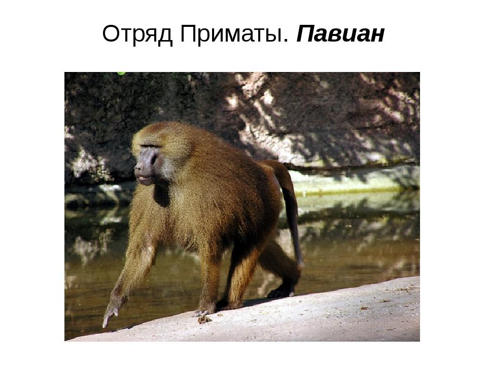 Отряд Приматы. Павиан
