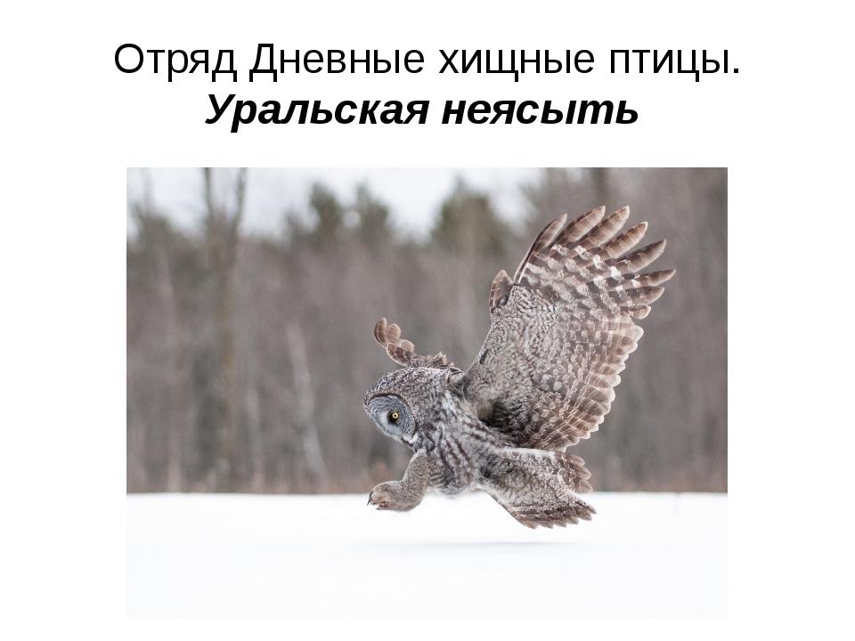 Отряд Дневные хищные птицы. Уральская неясыть