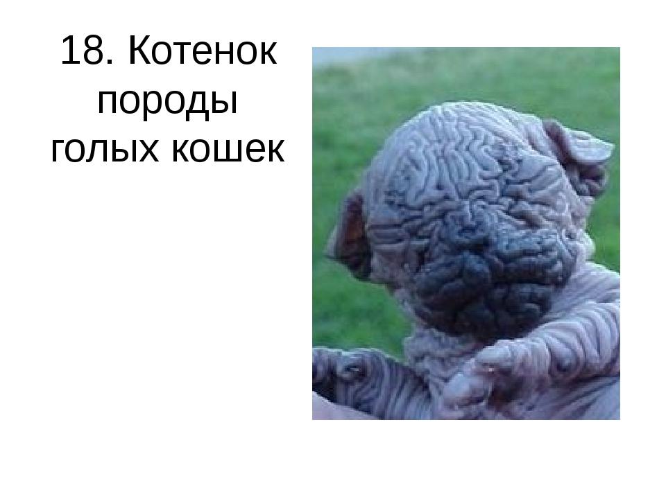 18. Котенок породы голых кошек