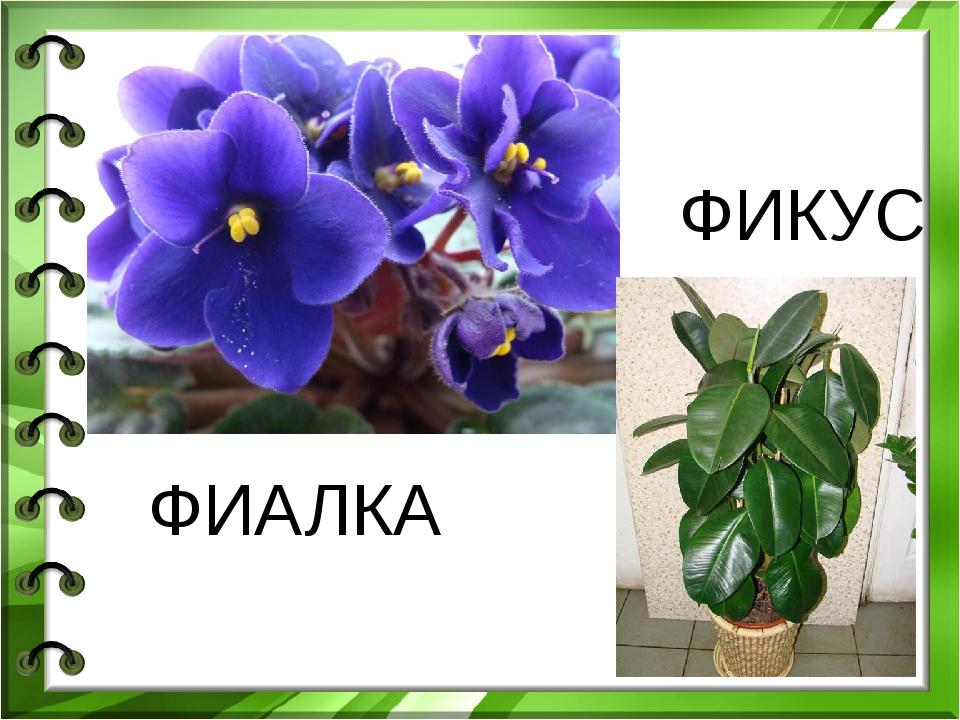 ФИАЛКА ФИКУС