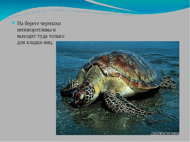На береге черепахи неповоротливы и выходят туда только для кладки яиц.