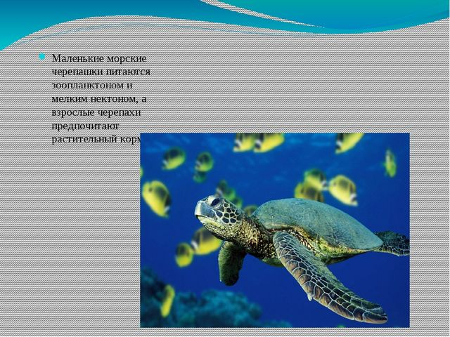 Маленькие морские черепашки питаются зоопланктоном и мелким нектоном, а взрос...