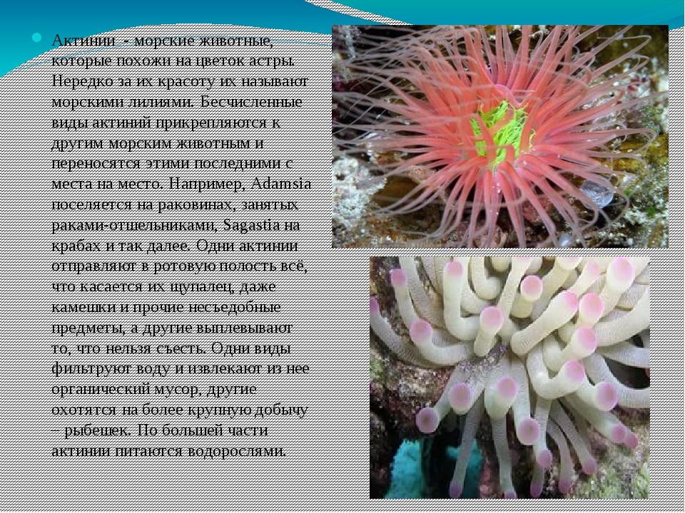 Актинии - морские животные, которые похожи на цветок астры. Нередко за их кра...