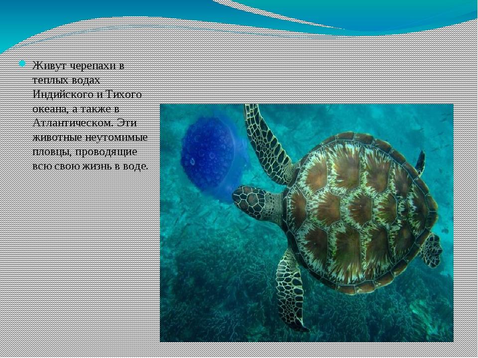 Живут черепахи в теплых водах Индийского и Тихого океана, а также в Атлантиче...