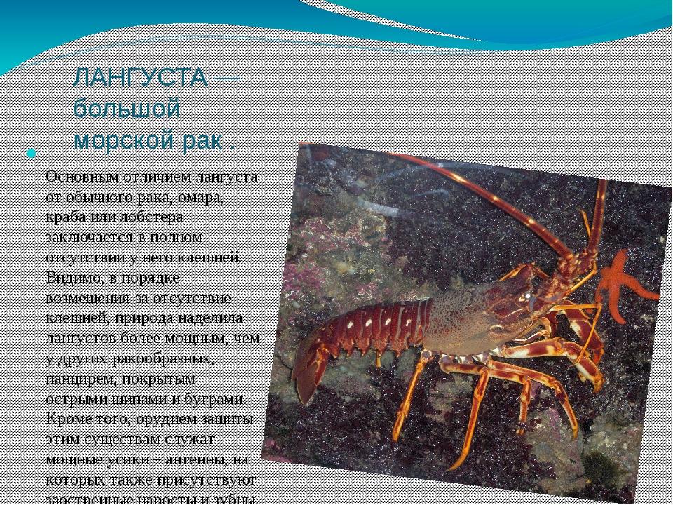 ЛАНГУСТА — большой морской рак . Основным отличием лангуста от обычного рака,...
