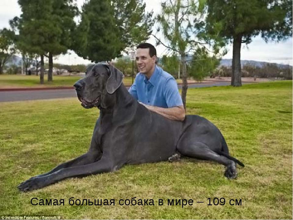 Самая большая собака в мире – 109 см Free Powerpoint Templates Page *