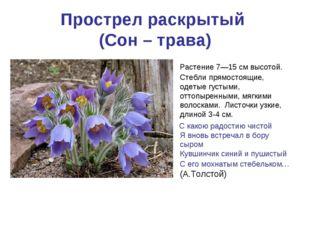 Прострел раскрытый (Сон – трава) Растение 7—15см высотой. Стебли прямостоящи