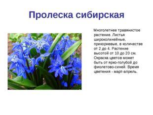 Пролеска сибирская Многолетнее травянистое растение. Листья широколинейные, п
