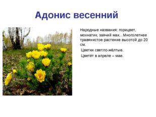 Адонис весенний Народные названия: горицвет, мохнатик, заячий мак…Многолетнее