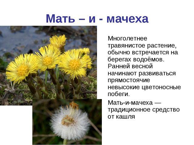 Мать – и - мачеха Многолетнее травянистое растение, обычно встречается на бер...