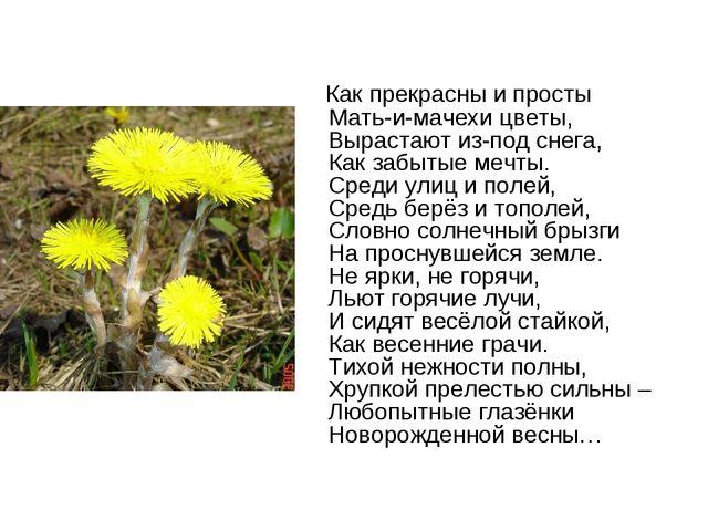 Как прекрасны и просты Мать-и-мачехи цветы, Вырастают из-под снега, Как забы...