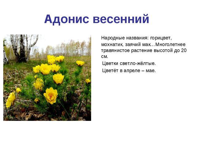 Адонис весенний Народные названия: горицвет, мохнатик, заячий мак…Многолетнее...
