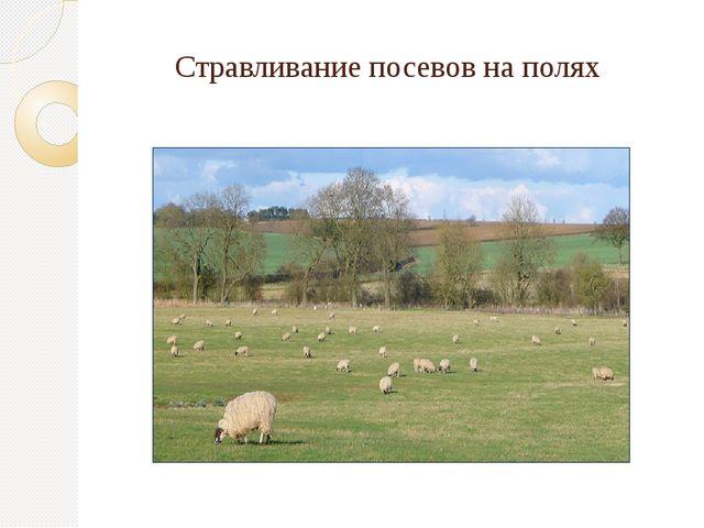 Стравливание посевов на полях
