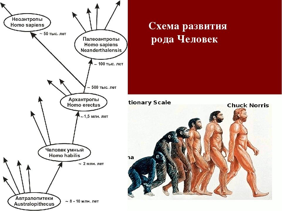 Схема развития рода Человек