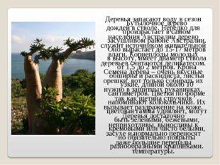 Бутылочное дерево произрастает в самом засушливом районе Австралии. Оно вырас