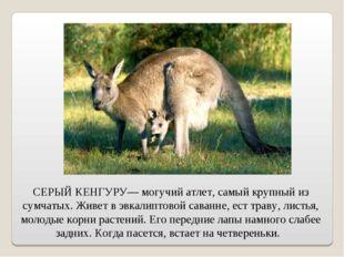 СЕРЫЙ КЕНГУРУ— могучий атлет, самый крупный из сумчатых. Живет в эвкалиптовой