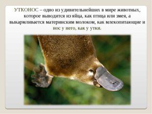 УТКОНОС – одно из удивительнейших в мире животных, которое выводится из яйца,