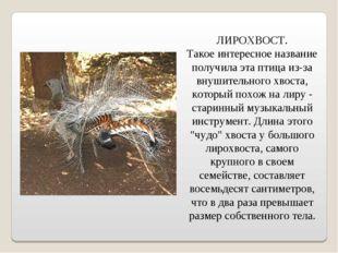 ЛИРОХВОСТ. Такое интересное название получила эта птица из-за внушительного
