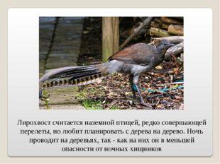 Лирохвост считается наземной птицей, редко совершающей перелеты, но любит пла